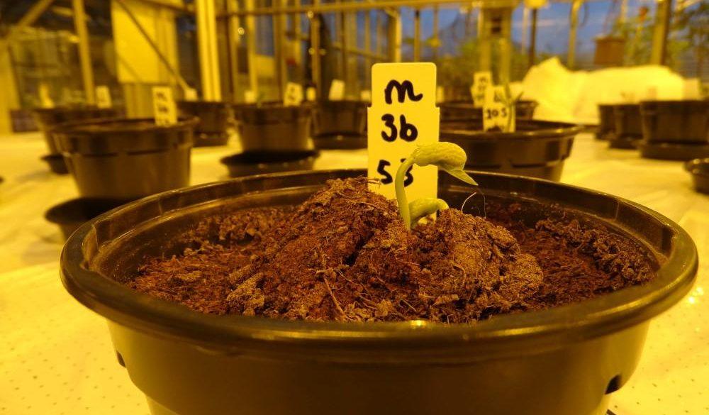 Вчені визнали сечу кращим добривом для рослин на Марсі
