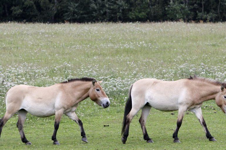 У США народився клонований кінь Пржевальського
