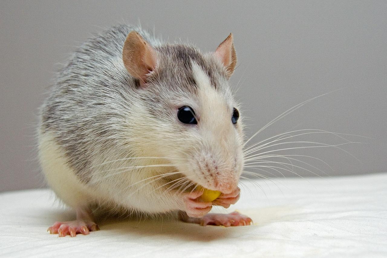 Самец крысы впервые смог выносить потомство. Как проходил эксперимент китайских ученых